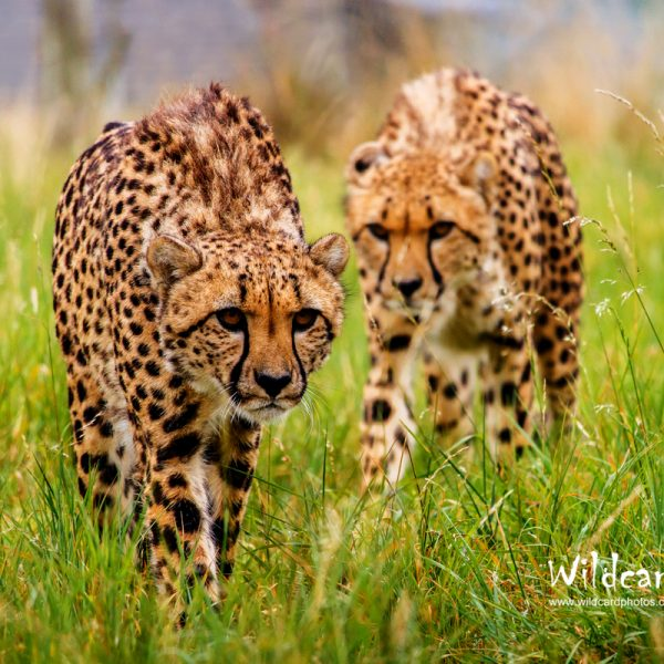 Cheetah Photos Portfolio