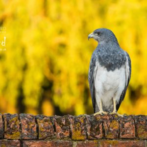 Chilean Blue Eagle or Black-Chested Buzzard-Eagle