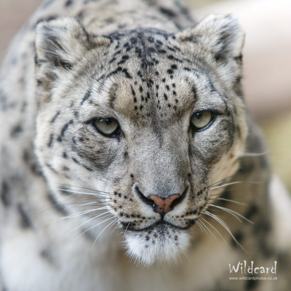 Snow Leopards Portfolio