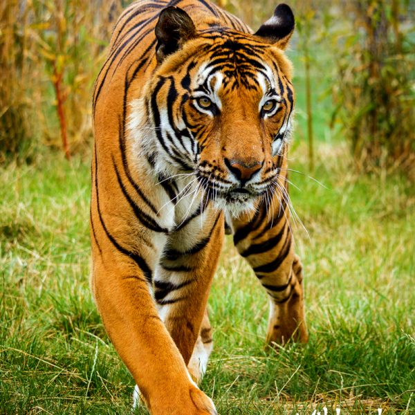Tiger Photos Portfolio